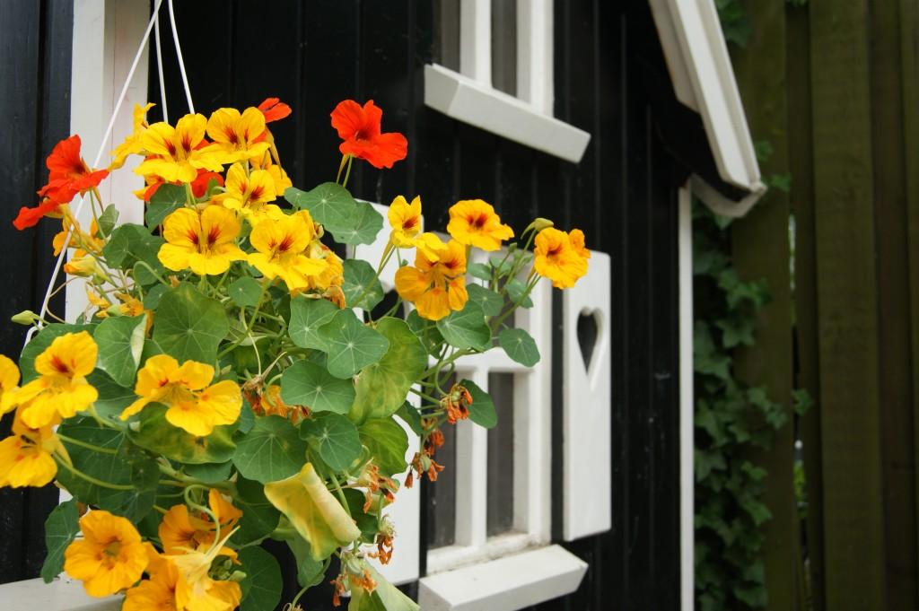 En plante med flotte gule blomster hænger ved legehusets vindue