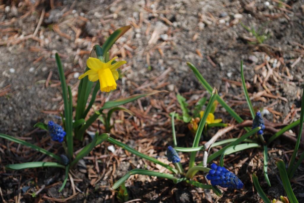 Blå og gule blomster kommer frem.